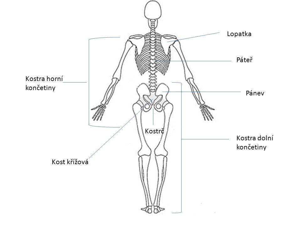 Co již víme? Pevnou oporu těla tvoří více než 200 kostí. Kostru trupu tvoří páteř a hrudník.
