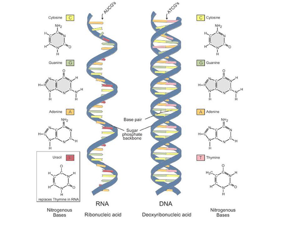 RNA - proteosyntéza = kyselina ribonukleová její molekula je tvořena většinou jen jedním polynukleotidovým vláknem sacharidovou složku tvoří 5C cukr D-ribosa, N-báze tvoří Adenin, Cytosin, Guanin a Uracyl RNA může sama vykonávat i některé enzymatické funkce (štěpení esterové vazby, katalýza polymerace...).