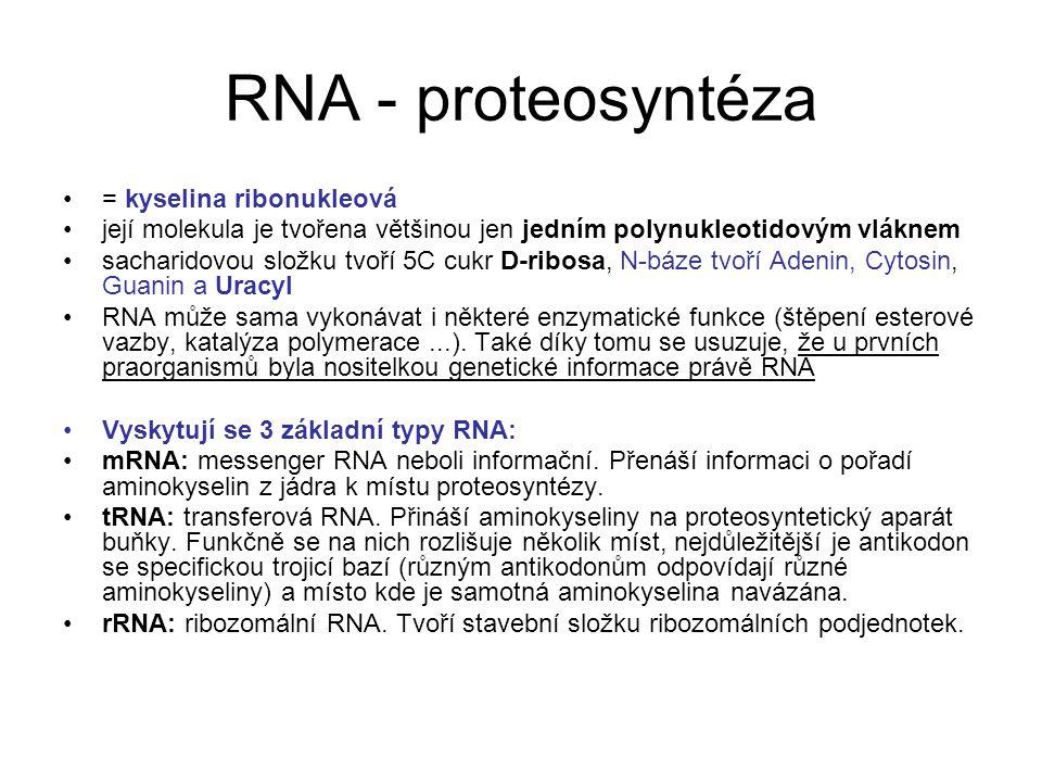RNA - proteosyntéza = kyselina ribonukleová její molekula je tvořena většinou jen jedním polynukleotidovým vláknem sacharidovou složku tvoří 5C cukr D
