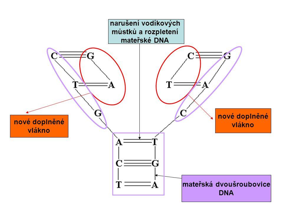 mateřská dvoušroubovice DNA narušení vodíkových můstků a rozpletení mateřské DNA nové doplněné vlákno nové doplněné vlákno