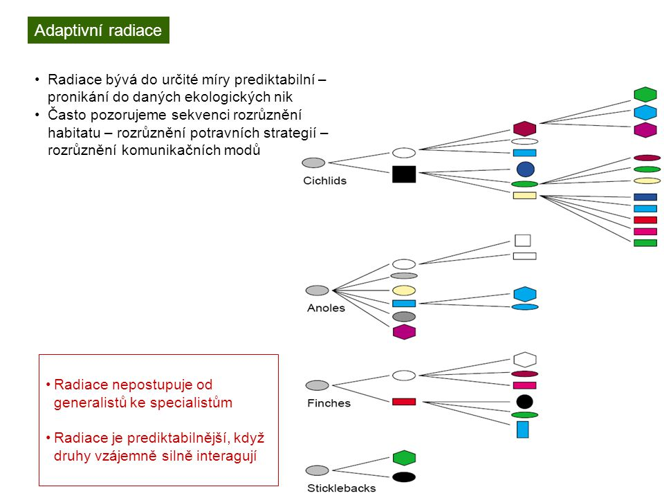 Adaptivní radiace Radiace bývá do určité míry prediktabilní – pronikání do daných ekologických nik Často pozorujeme sekvenci rozrůznění habitatu – rozrůznění potravních strategií – rozrůznění komunikačních modů Radiace nepostupuje od generalistů ke specialistům Radiace je prediktabilnější, když druhy vzájemně silně interagují