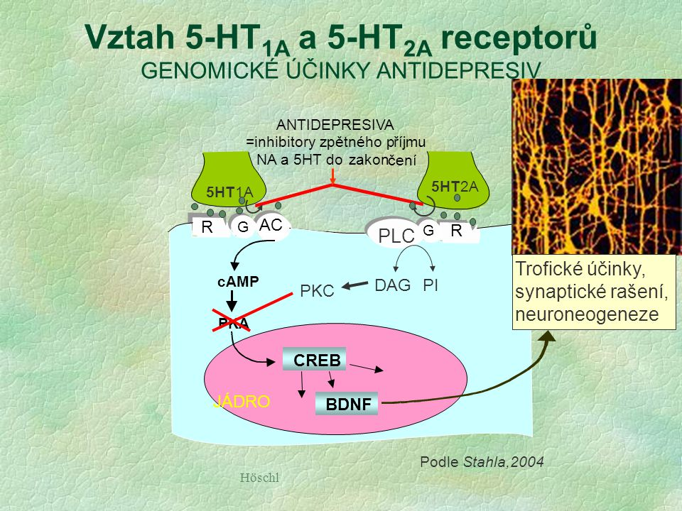 Höschl 5-HT nebo NA AC G R G R JÁDRO ANTIDEPRESIVA =inhibitoryzpětnéhopříjmu NA a 5HT dozakon čení Ca2+dependentní kinázy  CREB  cAMP  BDNF PKA  P