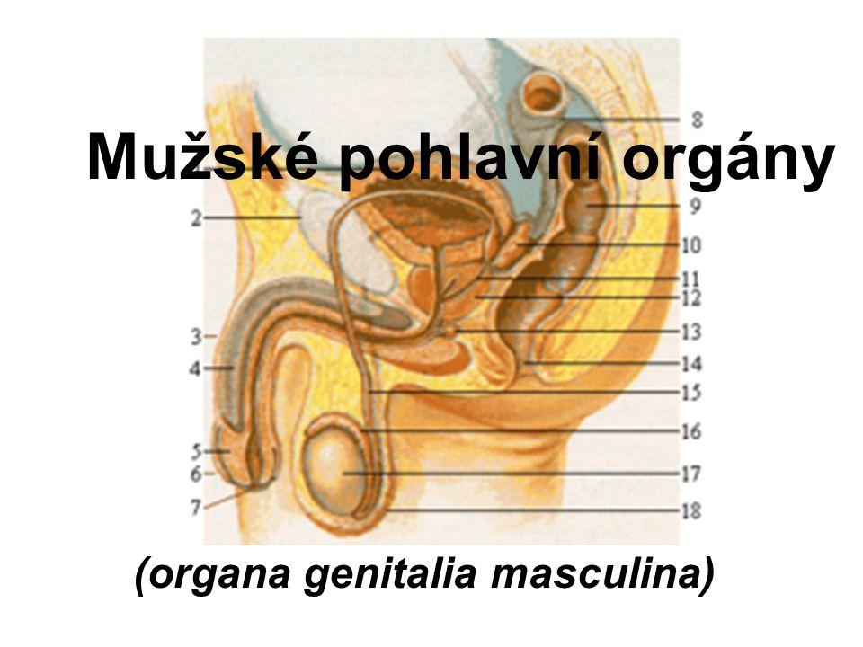 Mužské pohlavní orgány (organa genitalia masculina)