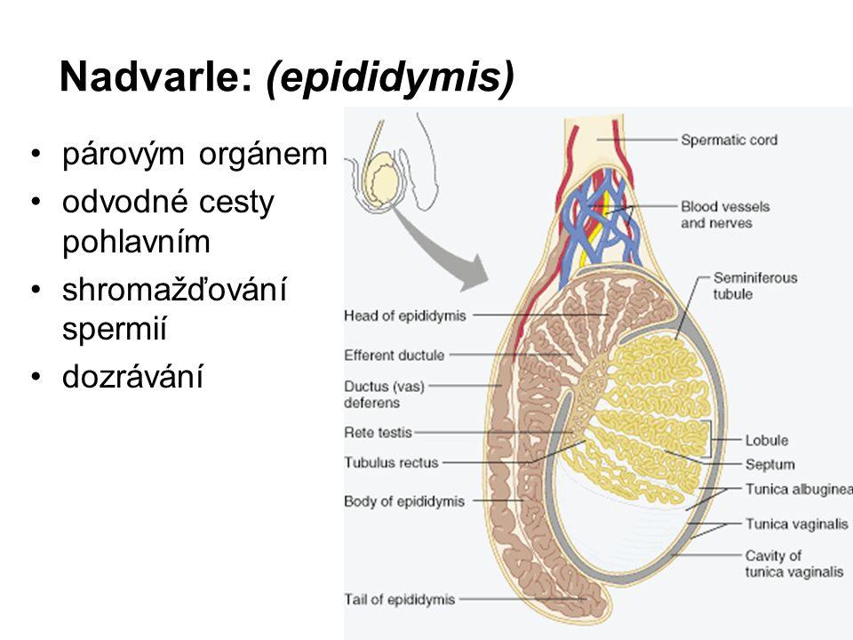 Nadvarle: (epididymis) párovým orgánem odvodné cesty pohlavním shromažďování spermií dozrávání