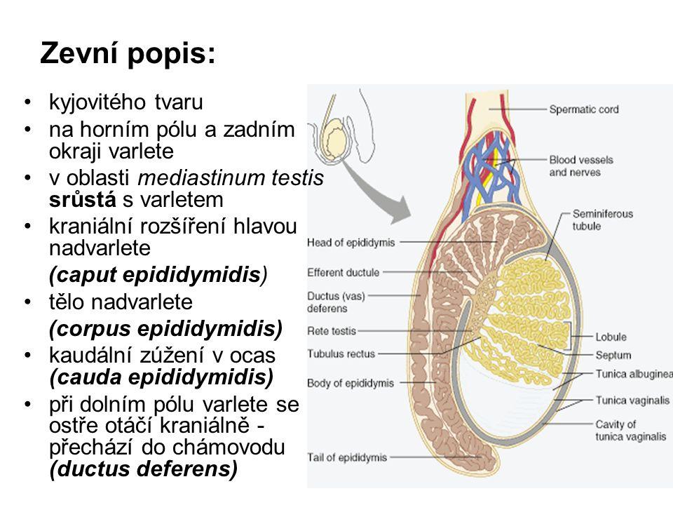 Zevní popis: kyjovitého tvaru na horním pólu a zadním okraji varlete v oblasti mediastinum testis srůstá s varletem kraniální rozšíření hlavou nadvarlete (caput epididymidis) tělo nadvarlete (corpus epididymidis) kaudální zúžení v ocas (cauda epididymidis) při dolním pólu varlete se ostře otáčí kraniálně - přechází do chámovodu (ductus deferens)