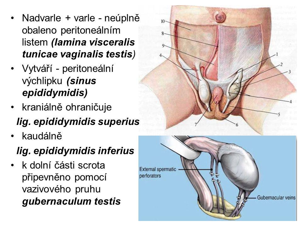 Nadvarle + varle - neúplně obaleno peritoneálním listem (lamina visceralis tunicae vaginalis testis) Vytváří - peritoneální výchlipku (sinus epididymidis) kraniálně ohraničuje lig.