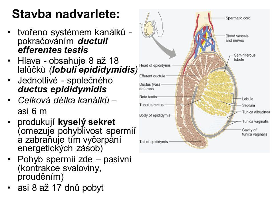 Chámovod: (ductus deferens) Zevní popis: trubice dlouhá asi 40 až 50 cm vnitřní průměr 0,5 mm navazuje na nadvarle stává součástí semenného provazce (s cévami a nervy) probíhá tříselným kanálem do dutiny břišní Po výstupu z anulus inguinalis profundus - do pánve k zadní stěně močového měchýře překřížení s močovodem dostává se na mediální stranu semenných váčků rozšiřuje do 3 – 4 cm dlouhého váčku – ampulla ductus deferentis Zužuje + sem.