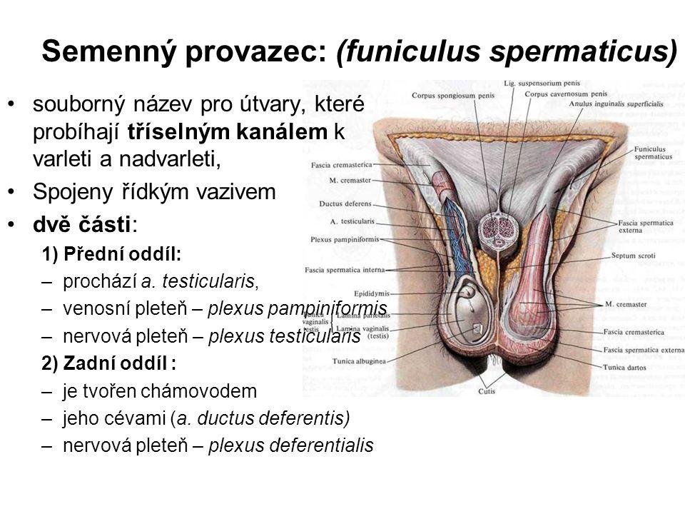 Semenné váčky: (vesiculae seminales) párová přídatná pohlavní žláza kyjovitého tvaru (délky 4–5 cm) na laterální straně ampulla ductus deferentis kraniální část – corpus vesiculae seminalis vývod – ductus excretorius + chámovod = ductus ejaculatorius, Ten vyúsťuje na colliculus seminalis v močové trubici