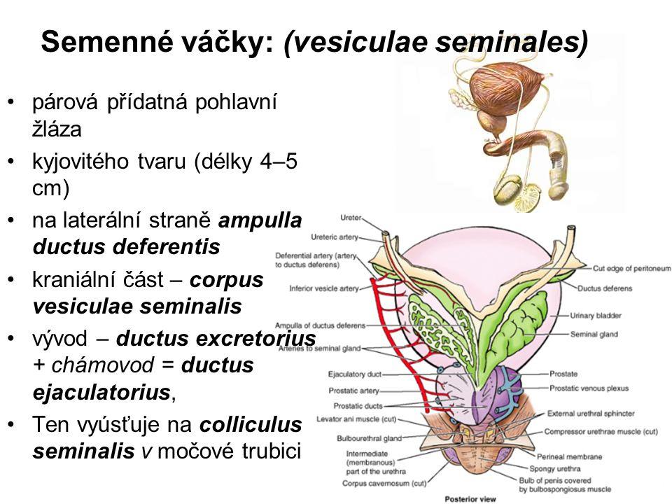 dutým orgánem povrch – hrbolatý Sliznice: četné řasy různě velké výklenky E.