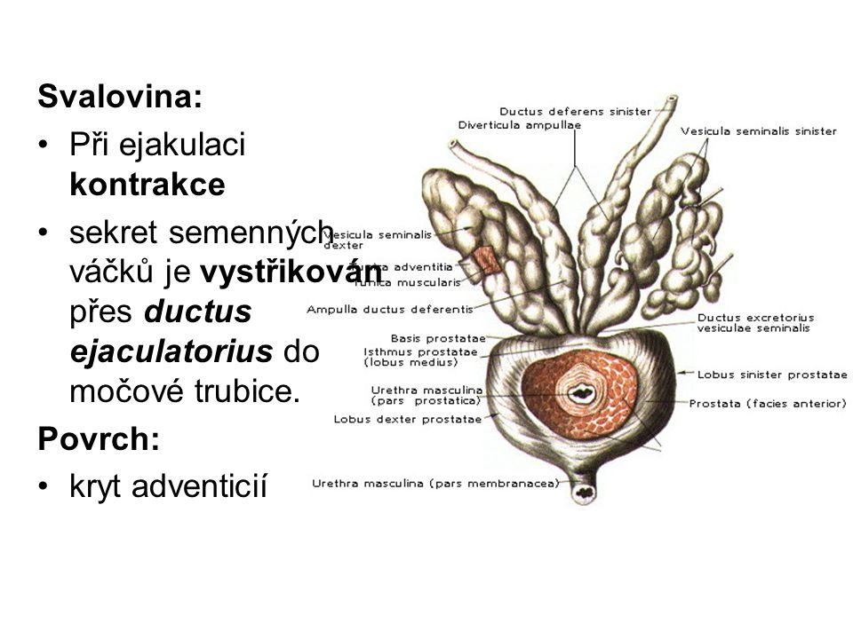 Svalovina: Při ejakulaci kontrakce sekret semenných váčků je vystřikován přes ductus ejaculatorius do močové trubice.