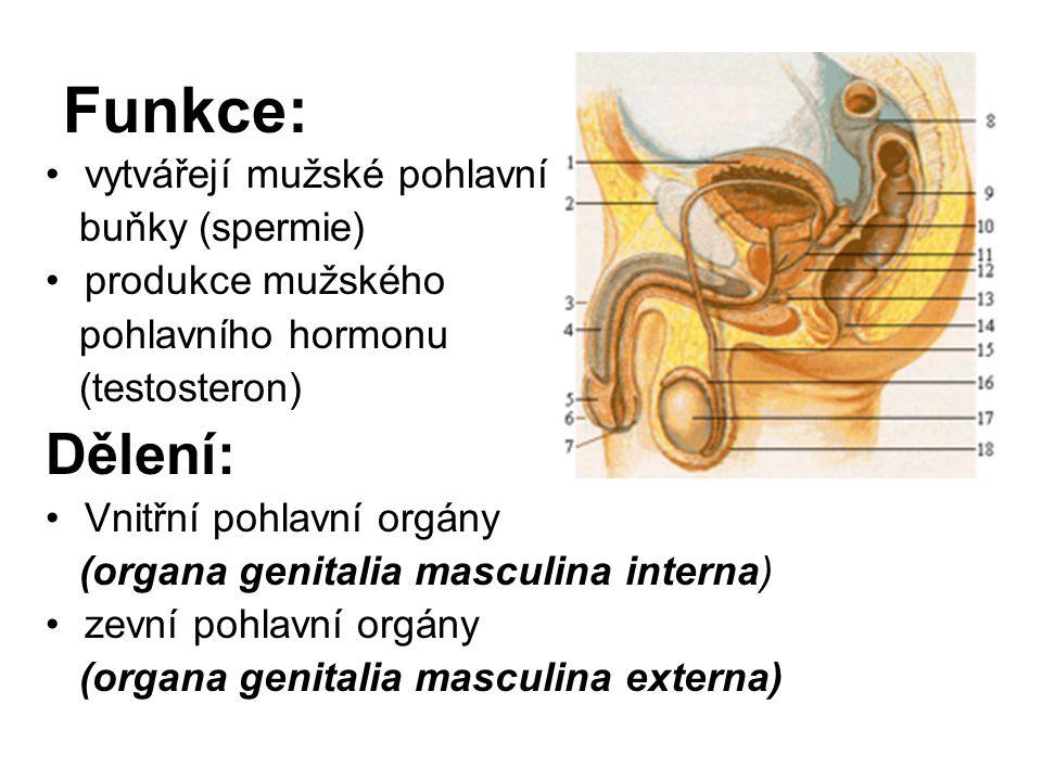 Funkce: vytvářejí mužské pohlavní buňky (spermie) produkce mužského pohlavního hormonu (testosteron) Dělení: Vnitřní pohlavní orgány (organa genitalia masculina interna) zevní pohlavní orgány (organa genitalia masculina externa)