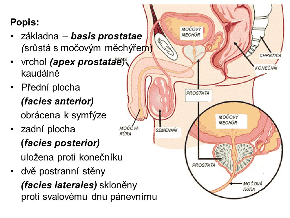 Popis: základna – basis prostatae (srůstá s močovým měchýřem) vrchol (apex prostatae) kaudálně Přední plocha (facies anterior) obrácena k symfýze zadní plocha (facies posterior) uložena proti konečníku dvě postranní stěny (facies laterales) skloněny proti svalovému dnu pánevnímu