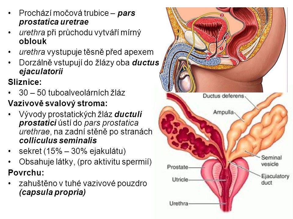 Prochází močová trubice – pars prostatica uretrae urethra při průchodu vytváří mírný oblouk urethra vystupuje těsně před apexem Dorzálně vstupují do žlázy oba ductus ejaculatorii Sliznice: 30 – 50 tuboalveolárních žláz Vazivově svalový stroma: Vývody prostatických žláz ductuli prostatici ústí do pars prostatica urethrae, na zadní stěně po stranách colliculus seminalis sekret (15% – 30% ejakulátu) Obsahuje látky, (pro aktivitu spermií) Povrchu: zahuštěno v tuhé vazivové pouzdro (capsula propria)