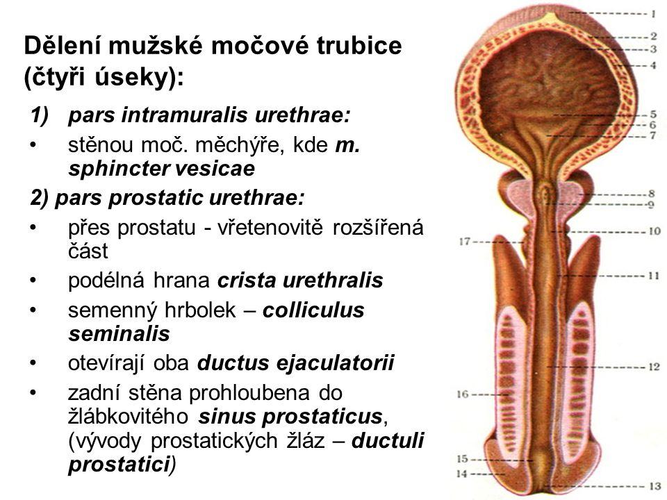 Dělení mužské močové trubice (čtyři úseky): 1)pars intramuralis urethrae: stěnou moč.