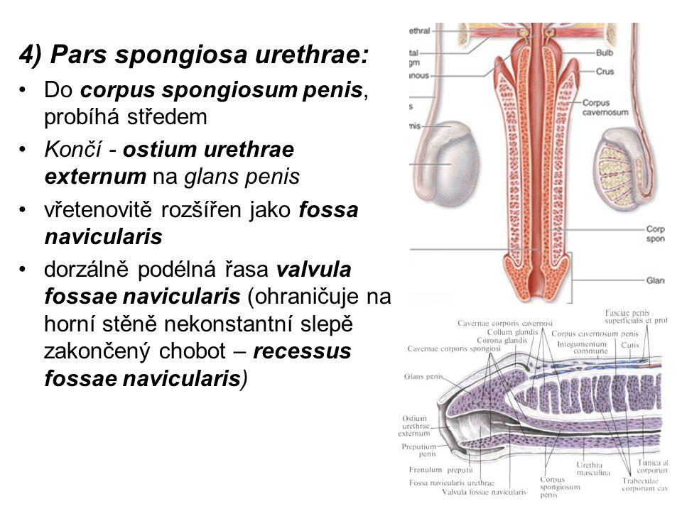 4) Pars spongiosa urethrae: Do corpus spongiosum penis, probíhá středem Končí - ostium urethrae externum na glans penis vřetenovitě rozšířen jako fossa navicularis dorzálně podélná řasa valvula fossae navicularis (ohraničuje na horní stěně nekonstantní slepě zakončený chobot – recessus fossae navicularis)