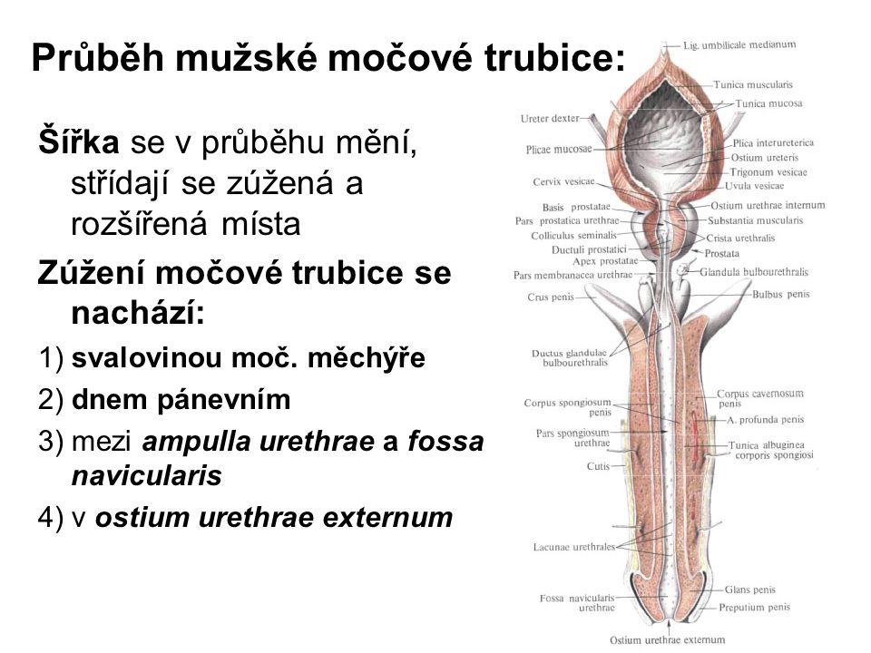 1)První zakřivení: (curvatura subpubica) se nachází na rozhraní mezi pars membranacea a pars spongiosa Při erekci se nemění 2) Druhé zakřivení (curvatura praepubica) ve střední části pars spongiosa uretrae