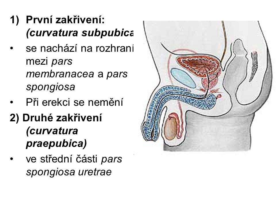 Stavba mužské močové trubice: 1) Sliznice: e.m.