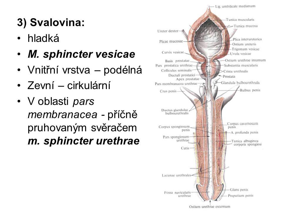 Pyj: (penis) Zevní popis: kopulační orgán válcovitého tvaru v ochablém stavu - délka 10 cm, při ztopoření - délka až na 15 cm kořen (radix penis) -připojen k trupu při dolním okraji symfýzy tělo (corpus penis) - volně visí před šourkem žalud (glans penis) přední strana těla - dorsum penis zadní strana - facies urethralis