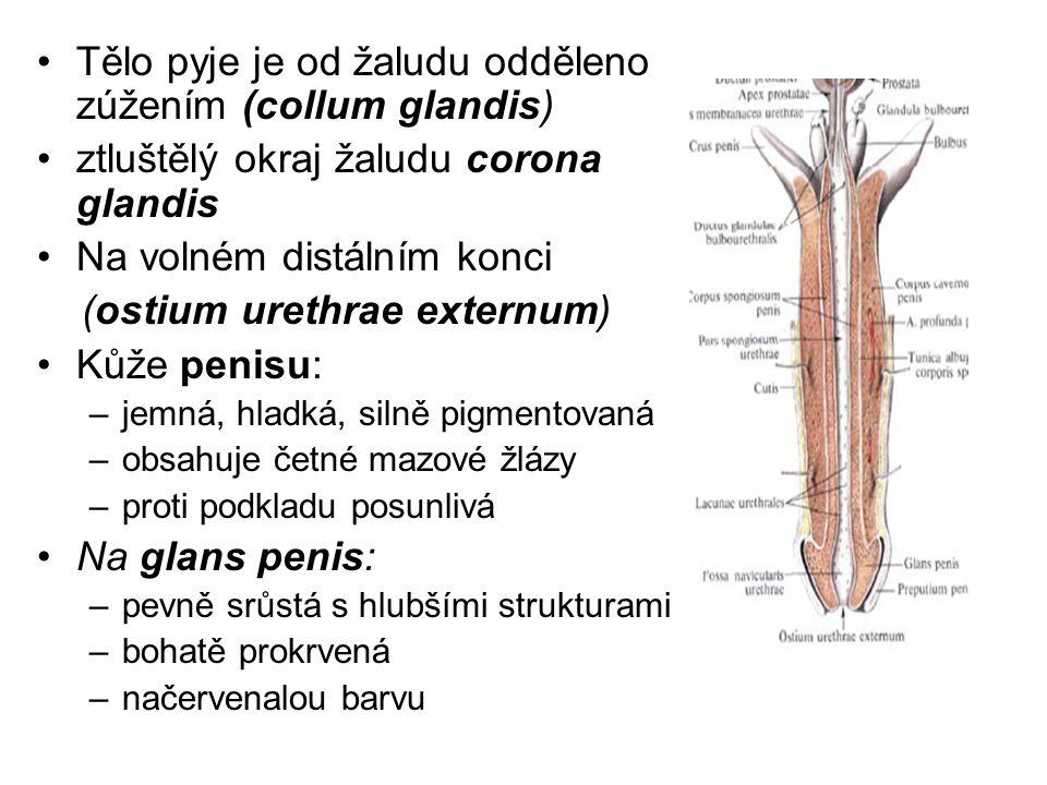 Tělo pyje je od žaludu odděleno zúžením (collum glandis) ztluštělý okraj žaludu corona glandis Na volném distálním konci (ostium urethrae externum) Kůže penisu: –jemná, hladká, silně pigmentovaná –obsahuje četné mazové žlázy –proti podkladu posunlivá Na glans penis: –pevně srůstá s hlubšími strukturami –bohatě prokrvená –načervenalou barvu
