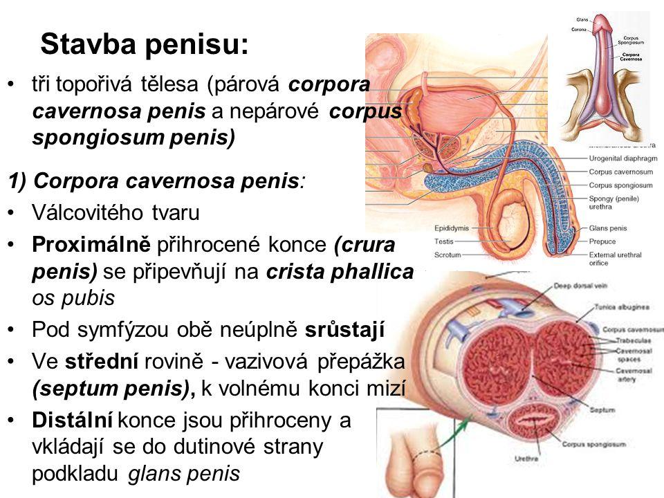 Stavba penisu: tři topořivá tělesa (párová corpora cavernosa penis a nepárové corpus spongiosum penis) 1) Corpora cavernosa penis: Válcovitého tvaru Proximálně přihrocené konce (crura penis) se připevňují na crista phallica os pubis Pod symfýzou obě neúplně srůstají Ve střední rovině - vazivová přepážka (septum penis), k volnému konci mizí Distální konce jsou přihroceny a vkládají se do dutinové strany podkladu glans penis
