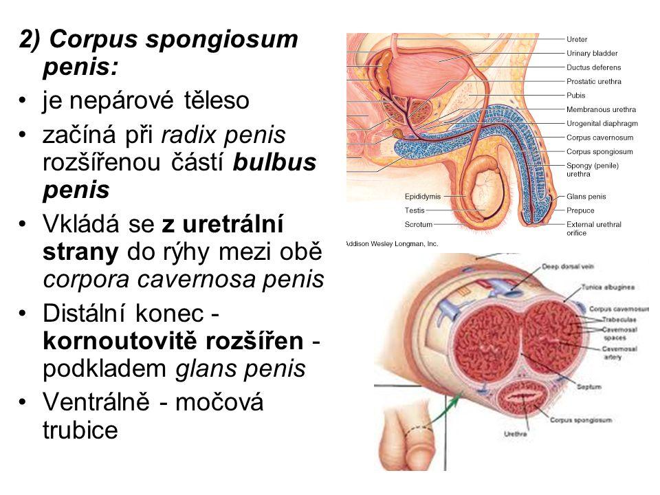 Struktura obou těles: Na povrchu - tuhá vazivová blána tunica albuginea Do hloubky odstupují vazivová septa – ohraničují dutinky - vystlané endotelem (cavernae).