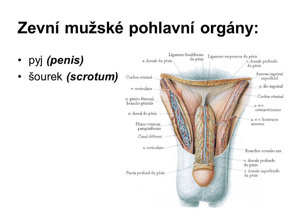 Zevní mužské pohlavní orgány: pyj (penis) šourek (scrotum)