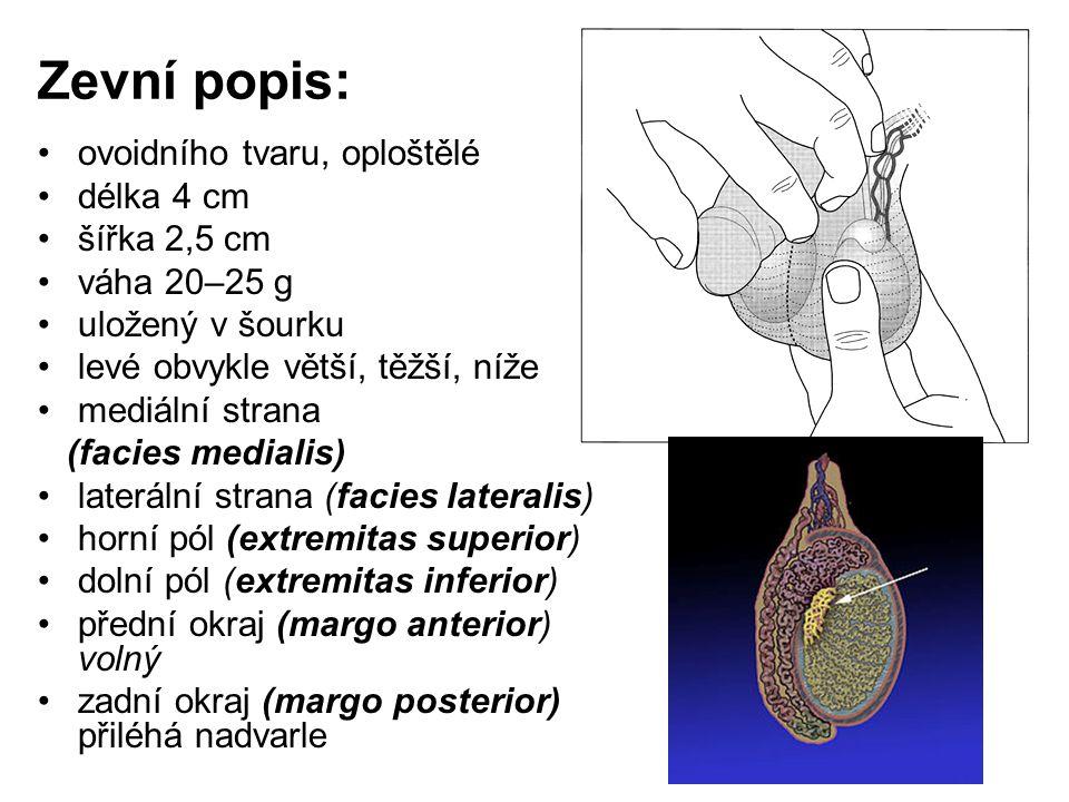 Stavba varlete: povrch, tuhá vazivová membrána (tunica albuginea) zadní okraj – při horním pólu vazivo zahuštěno v mediastinum testis vazivová septa (septula testis) rozdělují varle na 200–300 lalůčků (lobuli testis) hroty se sbíhají k hilu varlete (hilus testis)