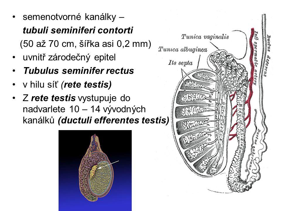Epitel produkuje testikulární tekutinu Obsahuje látky potřebné pro zajištění metabolismu spermií transportuje spermie z varlete do nadvarlete Prostory mezi semenotvornými kanálky jsou vystlány intersticiálním vazivem, v nich - uloženy Leydigovy buňky (testosteron)