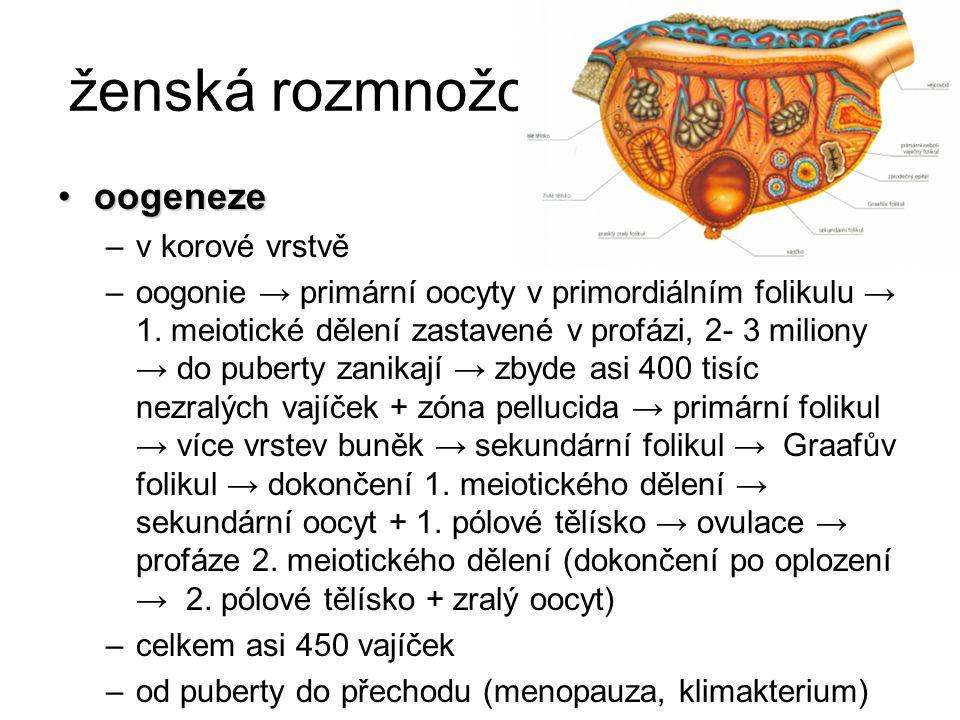 ženská rozmnožovací soustava oogenezeoogeneze –v korové vrstvě –oogonie → primární oocyty v primordiálním folikulu → 1. meiotické dělení zastavené v p