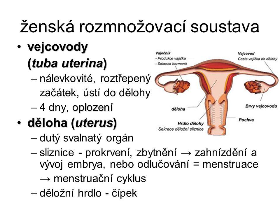 ženská rozmnožovací soustava vejcovodyvejcovody (tuba uterina) –nálevkovité, roztřepený začátek, ústí do dělohy oplození –4 dny, oplození děloha (uter
