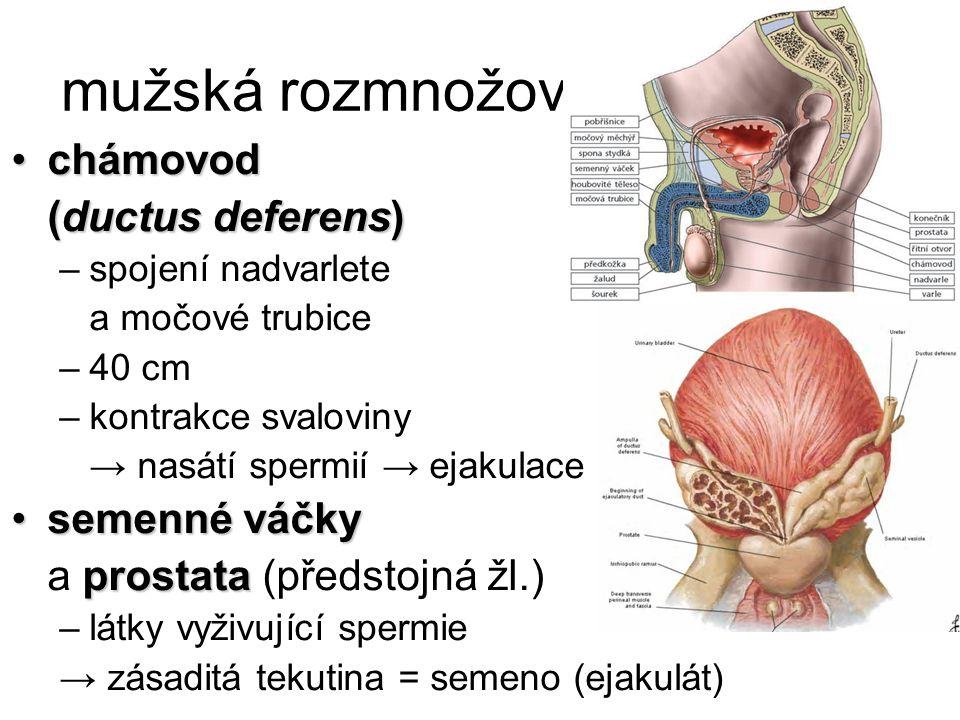 mužská rozmnožovací soustava chámovodchámovod (ductus deferens) –spojení nadvarlete a močové trubice –40 cm –kontrakce svaloviny → nasátí spermií → ej