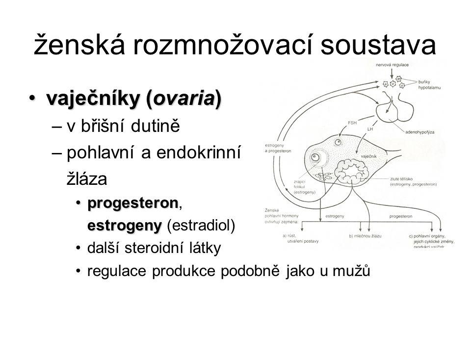 ženská rozmnožovací soustava vaječníky (ovaria)vaječníky (ovaria) –v břišní dutině –pohlavní a endokrinní žláza progesteronprogesteron, estrogeny estr