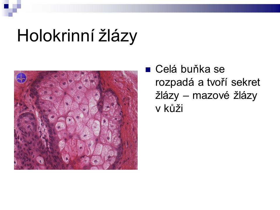 Holokrinní žlázy Celá buňka se rozpadá a tvoří sekret žlázy – mazové žlázy v kůži