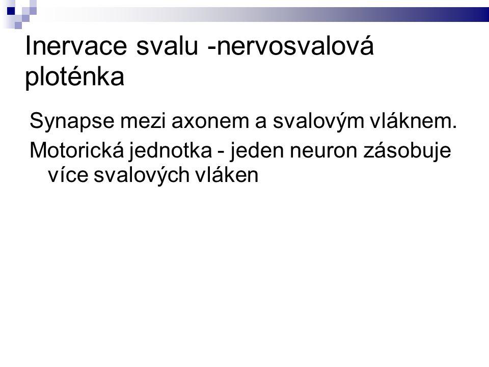 Inervace svalu -nervosvalová ploténka Synapse mezi axonem a svalovým vláknem.