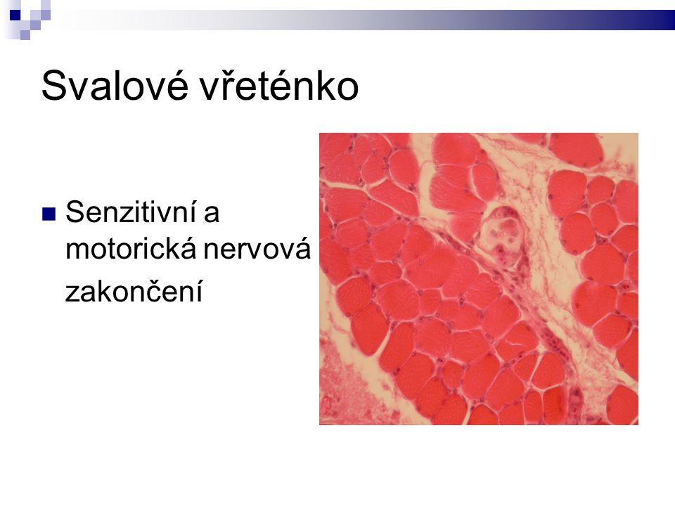 Svalové vřeténko Senzitivní a motorická nervová zakončení