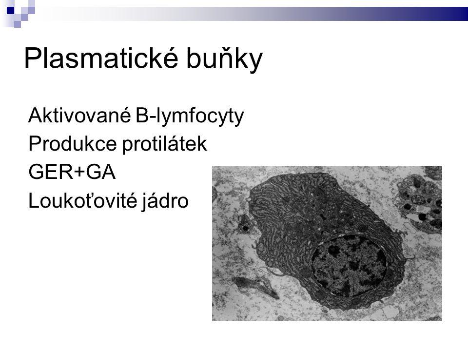 Plasmatické buňky Aktivované B-lymfocyty Produkce protilátek GER+GA Loukoťovité jádro