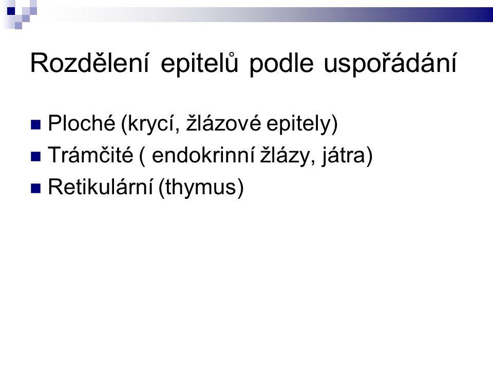 Rozdělení epitelů podle uspořádání Ploché (krycí, žlázové epitely) Trámčité ( endokrinní žlázy, játra) Retikulární (thymus)