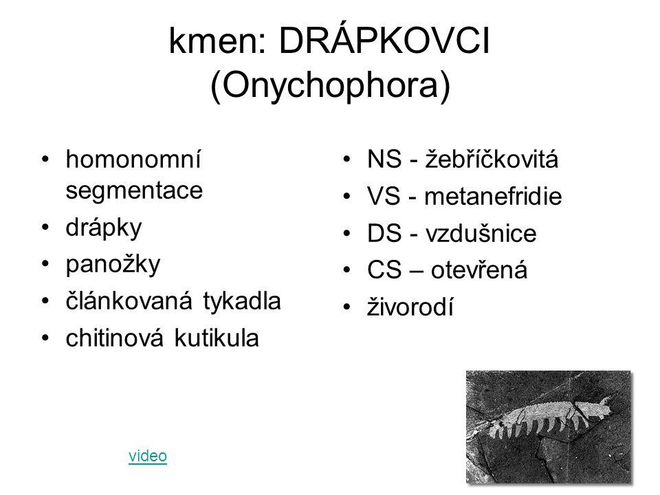 kmen: DRÁPKOVCI (Onychophora) homonomní segmentace drápky panožky článkovaná tykadla chitinová kutikula NS - žebříčkovitá VS - metanefridie DS - vzduš