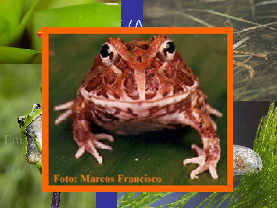 ŽÁBY (ANURA) Největší skupina obojživelníků (4100 druhů) Chybí ocas, dlouhé zadní nohy U některých pestré zbarvení (maskování, jedovatost) Nohy (plává