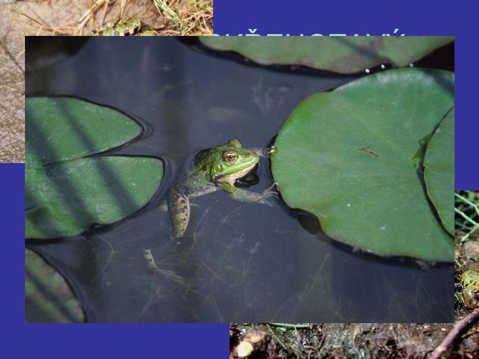 SKOKAN SKŘEHOTAVÝ Největší evropská žába Zelený až hnědý s tmavšími skvrnami a špičatým čenichem Samci-proměnlivé svatební volání Samice-naklade až 12