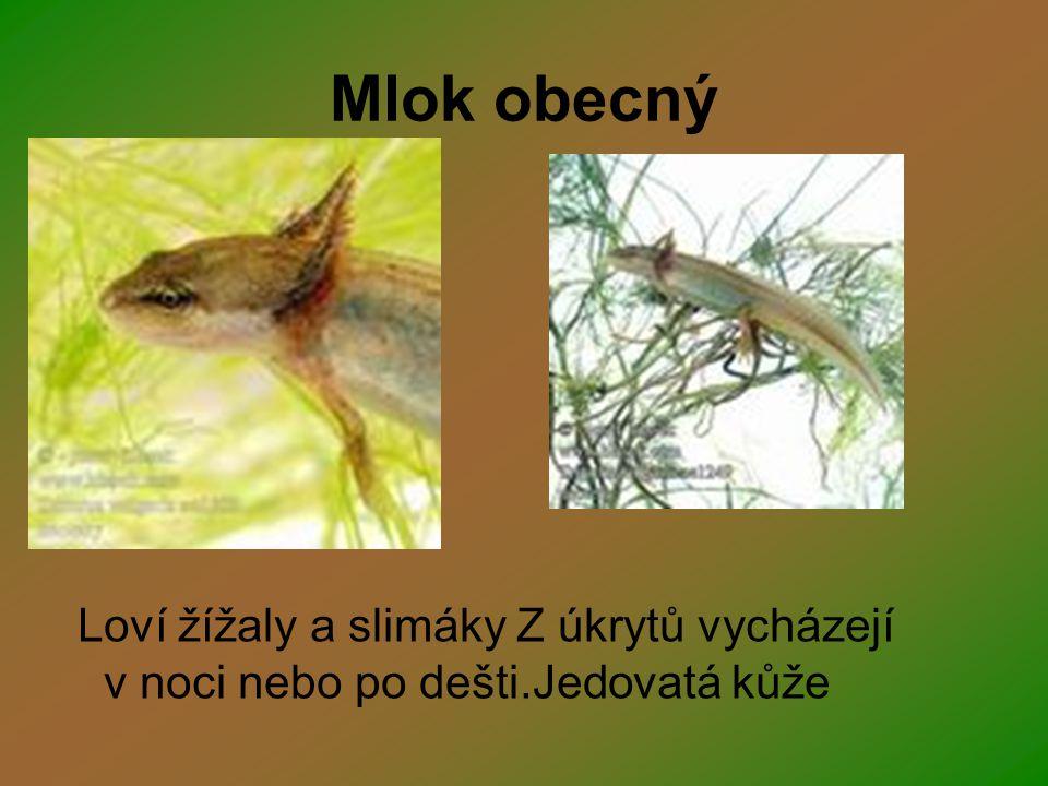 Mlok obecný Loví žížaly a slimáky Z úkrytů vycházejí v noci nebo po dešti.Jedovatá kůže