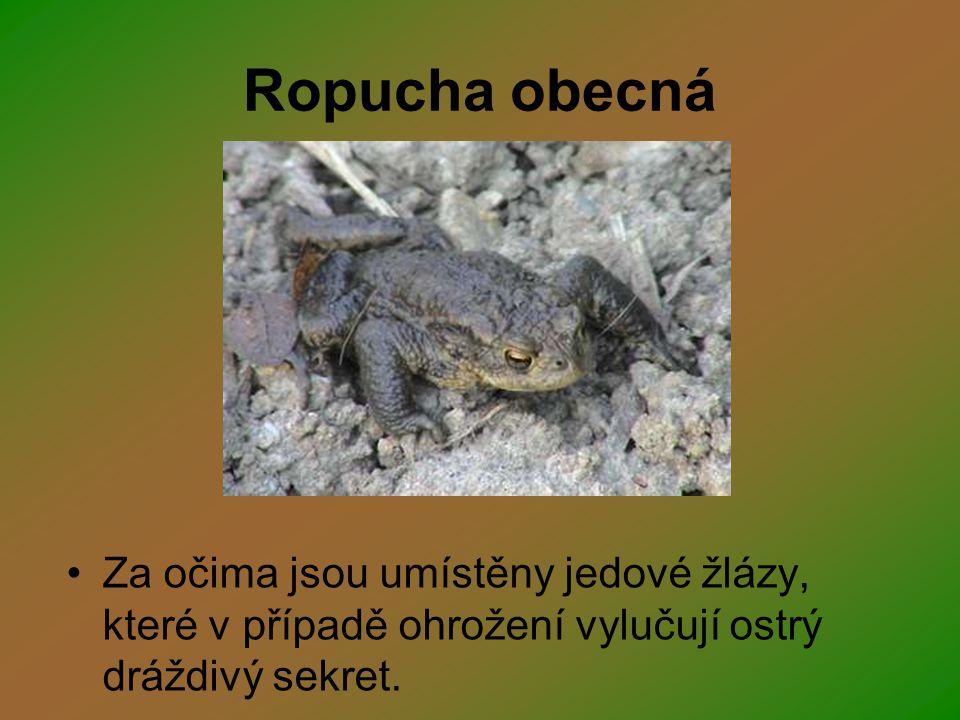 Ropucha obecná Za očima jsou umístěny jedové žlázy, které v případě ohrožení vylučují ostrý dráždivý sekret.