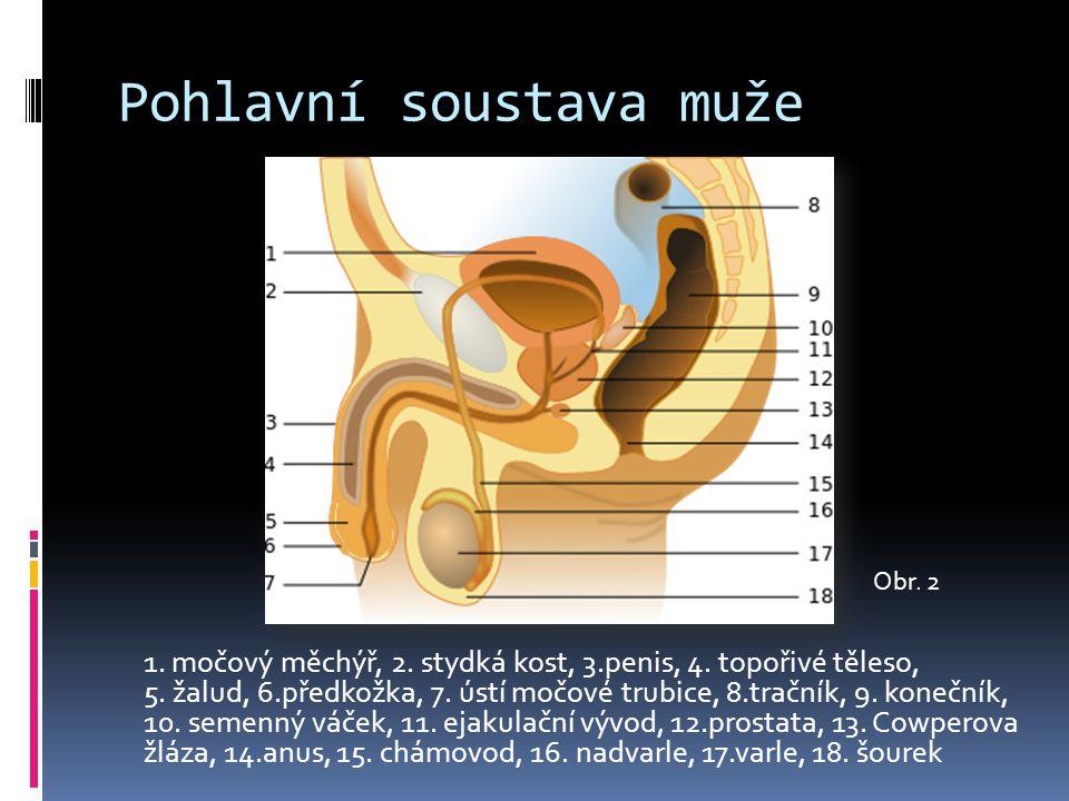 Pohlavní soustava muže 1.močový měchýř, 2. stydká kost, 3.penis, 4.