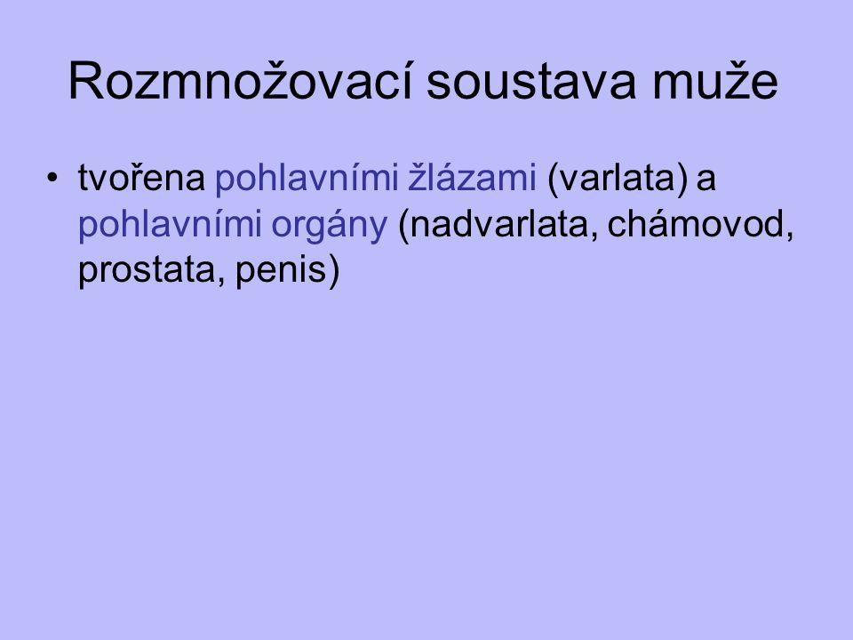 tvořena pohlavními žlázami (varlata) a pohlavními orgány (nadvarlata, chámovod, prostata, penis)