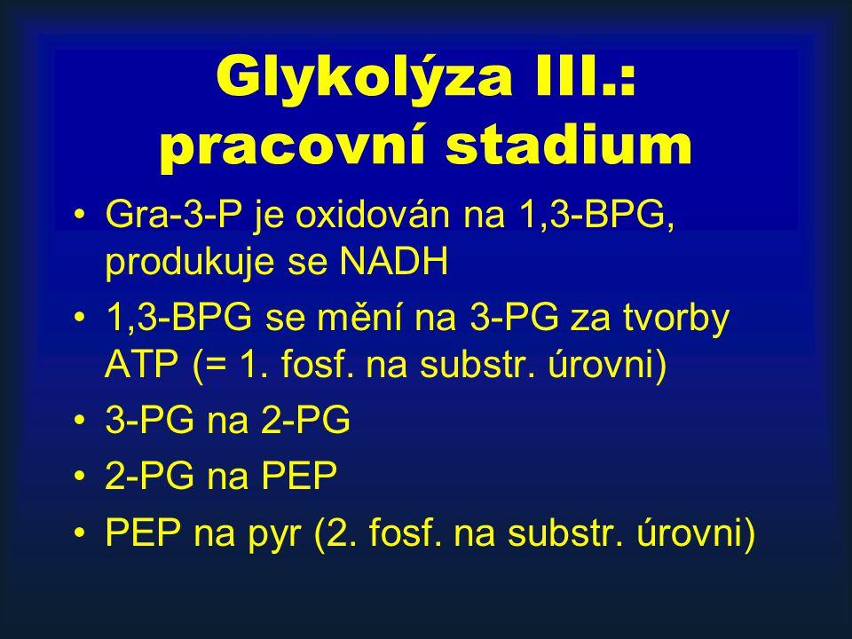 Glykolýza III.: pracovní stadium Gra-3-P je oxidován na 1,3-BPG, produkuje se NADH 1,3-BPG se mění na 3-PG za tvorby ATP (= 1. fosf. na substr. úrovni