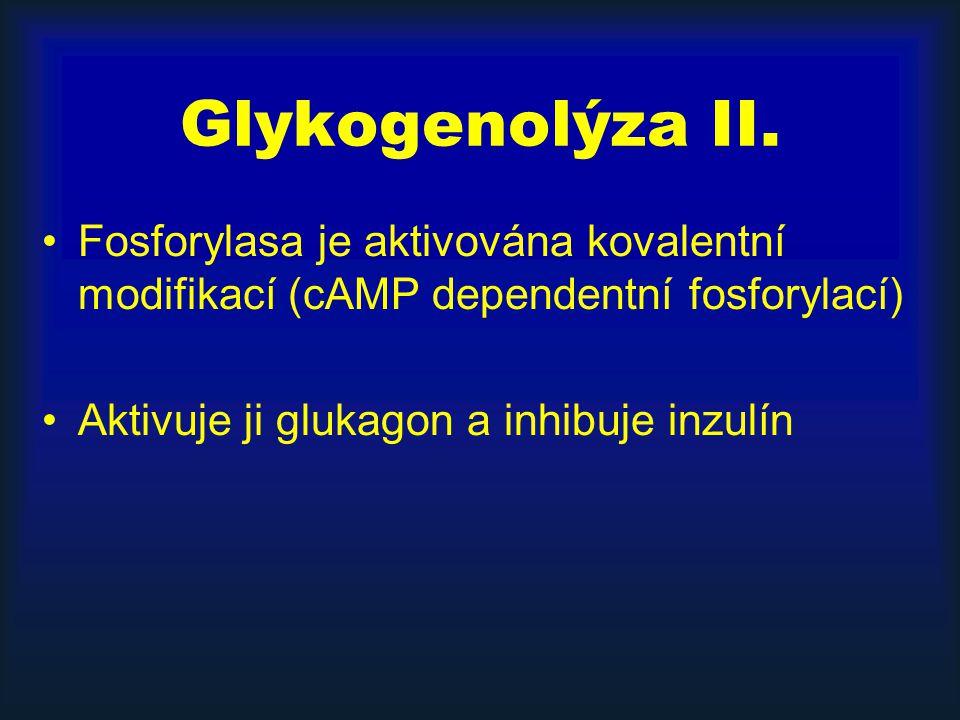 Glykogenolýza II. Fosforylasa je aktivována kovalentní modifikací (cAMP dependentní fosforylací) Aktivuje ji glukagon a inhibuje inzulín