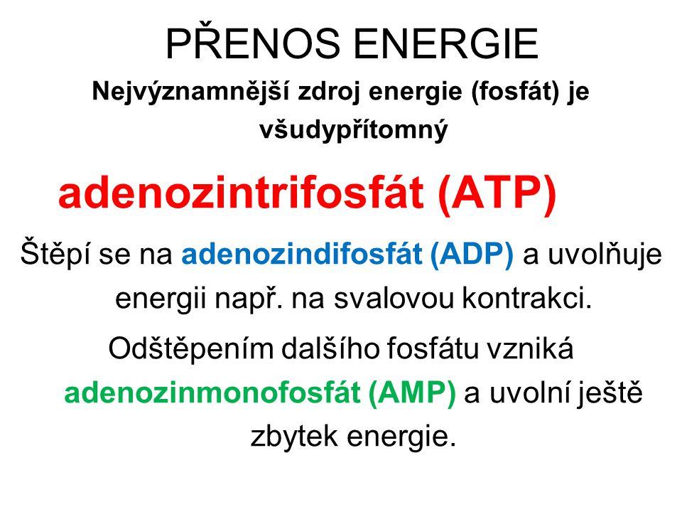 PŘENOS ENERGIE Nejvýznamnější zdroj energie (fosfát) je všudypřítomný adenozintrifosfát (ATP) Štěpí se na adenozindifosfát (ADP) a uvolňuje energii na