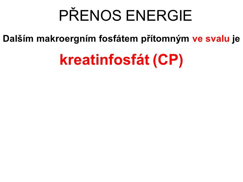 PŘENOS ENERGIE Dalším makroergním fosfátem přítomným ve svalu je kreatinfosfát (CP)