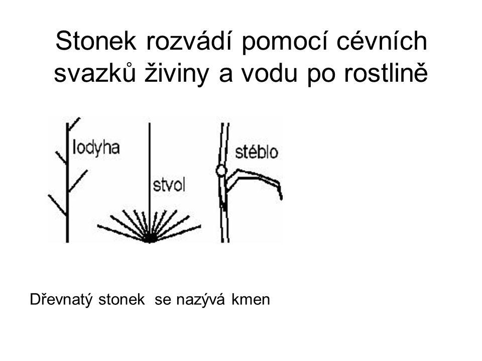 Stonek rozvádí pomocí cévních svazků živiny a vodu po rostlině Dřevnatý stonek se nazývá kmen