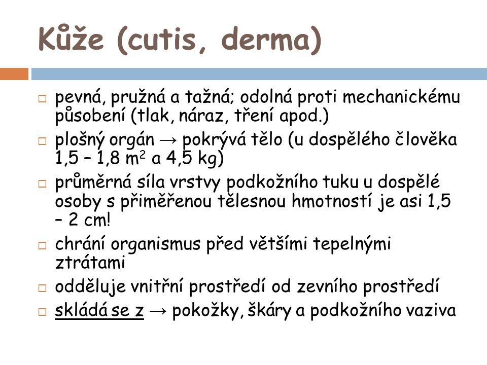 Kůže (cutis, derma)  pevná, pružná a tažná; odolná proti mechanickému působení (tlak, náraz, tření apod.)  plošný orgán → pokrývá tělo (u dospělého